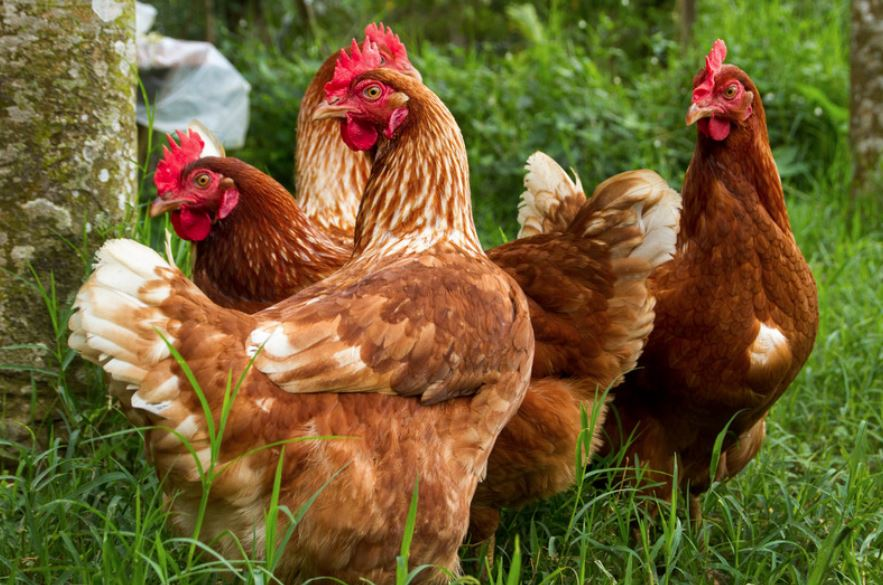 Why Hens Stop Laying and How to Get Them Started Again.